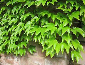 10 Samen Wilder Wein (Parthenocissus tricuspidata), Dreispitzige Jungfernrebe