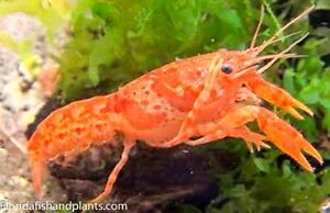Mexican Orange Dwarf crayfish lobster .75 in. Live Fish FREE OVERNIGHT SHIPPING!