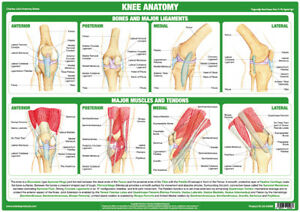 Knee Anatomy Poster Showing Joint Function Medical Chart