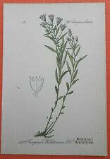 Waldstein-Glockenblume  Campanula waldsteiniana Lithographie 1885