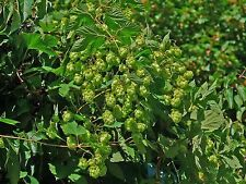 EL DORADO HOP SEED * BULK 100 SEEDS* TROPICAL/FRUITY FLAVOR * CASH CROP * BEER *