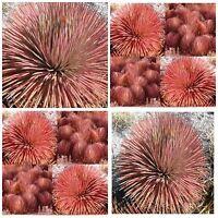 10 Samen der Agave Stricta var. rubra, saftig, Sukkulenten,seed succulents G