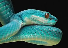 A1| Blue Viper Snake Poster Print Size 60 x 90cm Wild Animal Poster Gift #15896