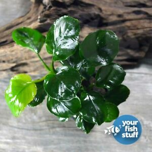 Anubias Barteri Golden Round Coin Live Aquarium Plant **BUY 1 GET 1 at 50% OFF**
