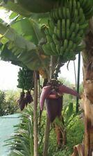 winterharte Banane Nag. schnellwüchsige exotische Pflanzen für den Garten Balkon