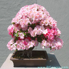 Bonsai seeds-Korean Azalea, Azalea yedoense poukhanense, Pack of 5 seeds