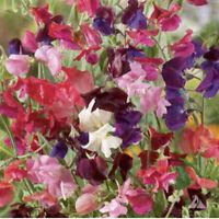 30 NAVY BLUE LATHYRUS MOST FRAGRANT SWEET PEA FLOWER SEEDS