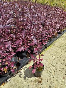 Verbena 'Bampton' -  Purple leaved vervain perennial Plant in 9cm Pot