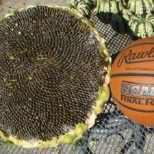 Mongolian Giant Sunflower  -  Helianthus Annuus  -  10 large seeds