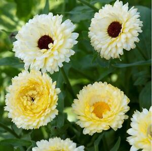 Flower - Calendula - Snow Princess - 100 Seeds
