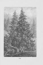 Fichte Rotfichte Picea abies HOLZSTICH von 1913 Botanik