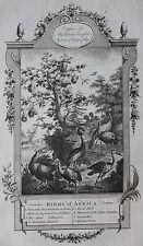 Genuine antique print 'BIRDS OF AFRICA', BUSTARD, AFRICAN SWAN, Middleton, 1777