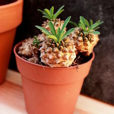Euphorbia x suzannae bupleurifolia - Sukkulent wie Ananas