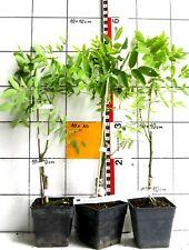 """Sophora japonica """"Pendula""""   -   seltene Hängeform vom japanischen Schnurbaum"""