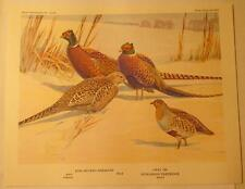 """Red Necked Pheasant - Gray or Hungarian Partridge, 8.5""""x 6.75"""" Print 1960"""