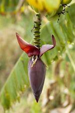 5 Tropical Seeds Musa nagensium Rare Banana Plant