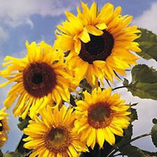 10 Early Mammoth Russian Sunflower Helianthus Annuus Yellow Flower Seeds + Gift