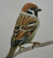 Beautiful Original Watercolour Painting Of A Tree Sparrow Bird (British Art)