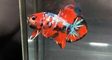 live betta fish male Koi  Galaxy Multicolors.