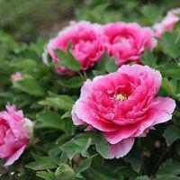 Purple love Pink Flower China's Peony Seeds Paeonia suffruticosa Tree DIY Garden