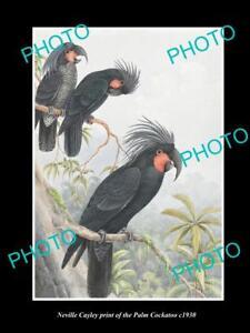 NEVILLE CAYLEY VINTAGE PRINT OF AUSTRALIAN BIRDS 16x11 THE PALM COCKATOO