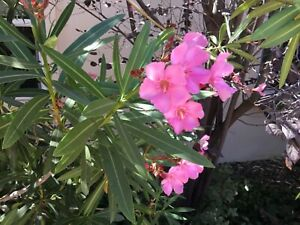Nerium Oleander Bright Pink Beauty pkt of 30