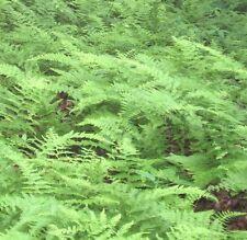 5 Hay Scented Fern Ferns Dennstaedtia punctilobula Native Woodland Bare Roots