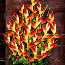 50 Stück seltene Heliconia wagneriana Zier Pflanzen Samen Heim Garten Dekor