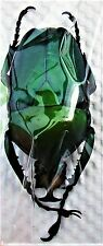 Flower Beetle Wood Boring Dicronorhina derbyana oberthueri Male 40mm FAST US