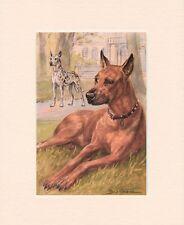 GREAT DANE ORIGINAL OLD 1950's DOG ART PRINT READY MOUNTED