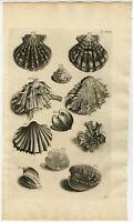 Antique Print-VENUS CLAMS-SHELL-BIVALVE MOLLUSK-Maria Sybilla Merian-1741