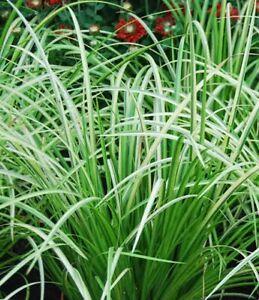 Variegated Grass ACORUS GRAMINEUS VAR LIVE Water Plants Pond Aquatic Bog