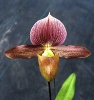 BIN Paph Raingreen's Charm 2 1/4'' Pot Seedling S622SE