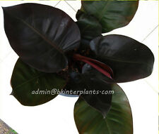Philodendron Black Cadinal Very Beautiful Black Leaf Don't miss Rare+Free Phyto!