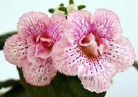 Mini Sinningia SRG's SASHA tuber Gesneriad African Violet kin