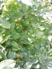 Hainbuche Hainbuchenhecke Wurzelware 120 bis 150 cm hoch Carpinus betulus 10 Stk