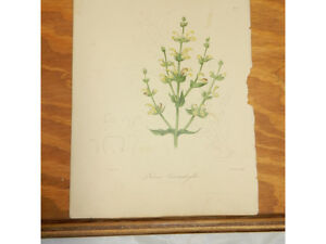 1838 Antique Floral COLOR Print//SALVIA CERATOPHYLLA (STAG'S HORN SALVIA)