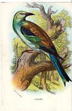 Antico Chromo-LITHO Bird Print-un rullo-LLOYD 'S Natural History (c1890)