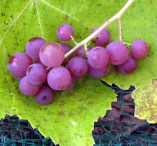 5 Cuttings Of Assorted Grape Vine Varieties - Mix And Match - Unrooted