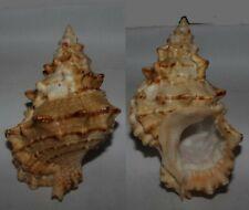 Seashells Bursa tutufa boholica FROG SHELL 116.2mm F+++/GEM Superb Marine Specie