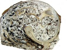Eocene Green River Ostracods in Elimia snail fossil Thin section unusual (med)
