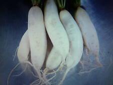Graines semences RADIS BLANCS  daikon dit japonais  Seeds pour votre santé