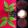 "Pulasan Dark Red Nephelium Mutabile  Bulala Florida Plant Tree Seedling  6-11"""