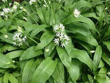 Wild garlic ( Allium ursinum ) * 10 bare root plants *