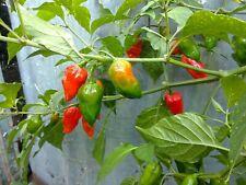 PEPERONCINO 10 Semi/Seeds NAGA MORICH