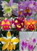 4 Live ORCHIDS Premium  (Cattleya, Oncidium, Vanda, Dendrobium, Phalaenop