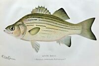 1897 RARE Antique DENTON FISH PRINT White Bass Roccus chrysops SUPERB/NICE/L@@K!