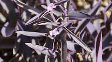 5 PURPLE HEART PLANT CUTTINGS TRADESCANTIA PALLIDA SETACREASEA EASY TO GROW!!!!!