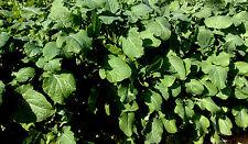 1KG GRAINES de Engrais Vert Moutarde Éthiopienne / Brassica Carinata