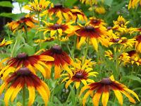daisy, GLORIOSA, PERENNIAL FLOWER, 470 seeds! GroCo